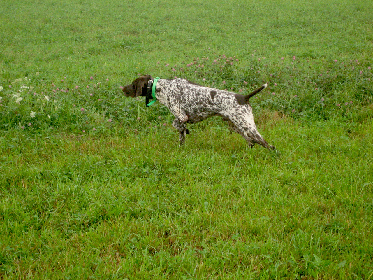 pheasant hunting with dogs youtube hunting wild pheasants of south